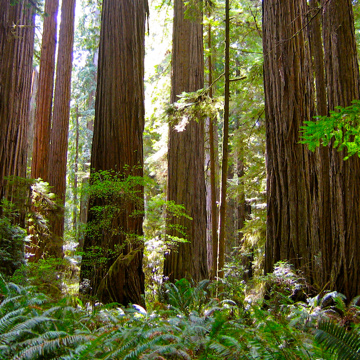 Old Growth Forests